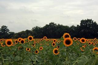 Bild des Tages 13.08.2011 - sunflowers