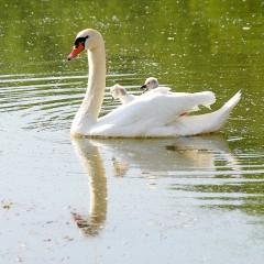Bild des Tages 23.01.2011 - white swan