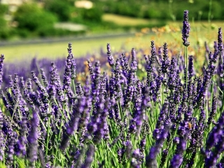 Bild des Tages 18.07.2011 - Der Duft von Lavendel