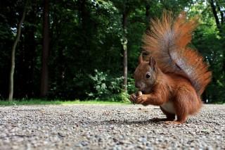 Bild des Tages 03.06.2011 - Eichhörnchen