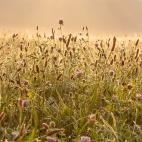 Sonnenaufgang im Gras I