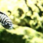 zebrafisch