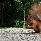 Eichhörnchen IX